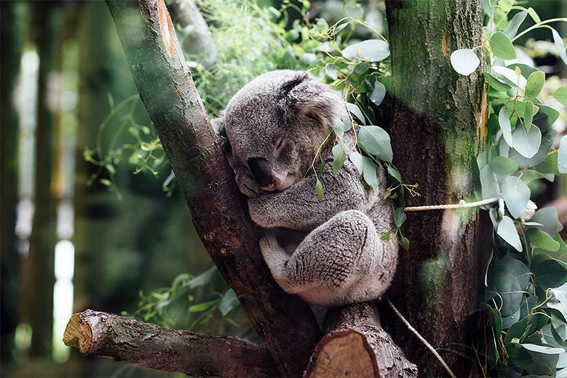 speca_koala